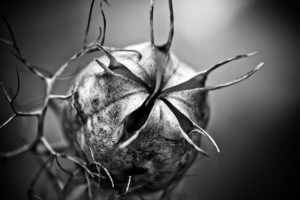 Schwarzkümmel - Immunsystem stärken